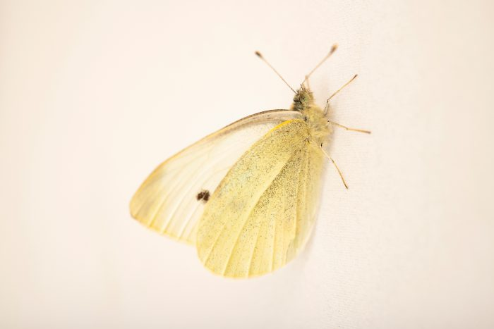 Photo: Small white butterfly (Pieris rapae) at Graham's Quinta dos Malvedos Vineyard.