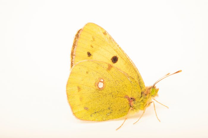 Photo: Clouded yellow butterfly (Colias croceus) at Graham's Quinta dos Malvedos Vineyard.