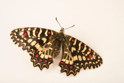 Photo: Spanish festoon (Zerynthia rumina) at Graham's Quinta dos Malvedos Vineyard.