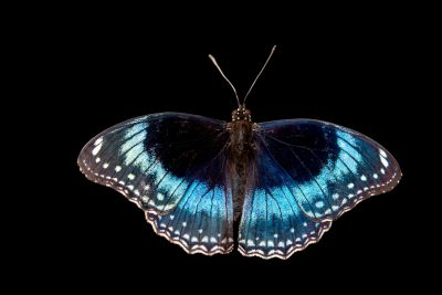 Photo: Blue-banded eggfly (Hypolimnas alimena) at Melbourne Zoo.