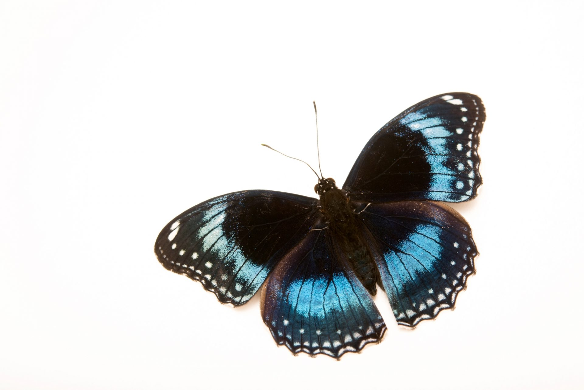 Photo: Blue banded eggfly (Hypolimnas alimena) at Melbourne Zoo.