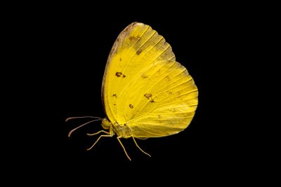 Photo: Common grass yellow (Eurema hecabe) at Melbourne Zoo.