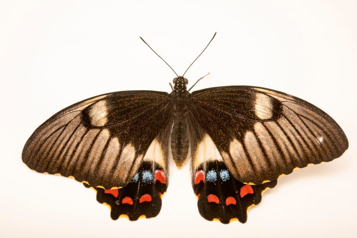 Photo: Orchard butterfly (Papilio aegeus) at Melbourne Zoo. This is a female.