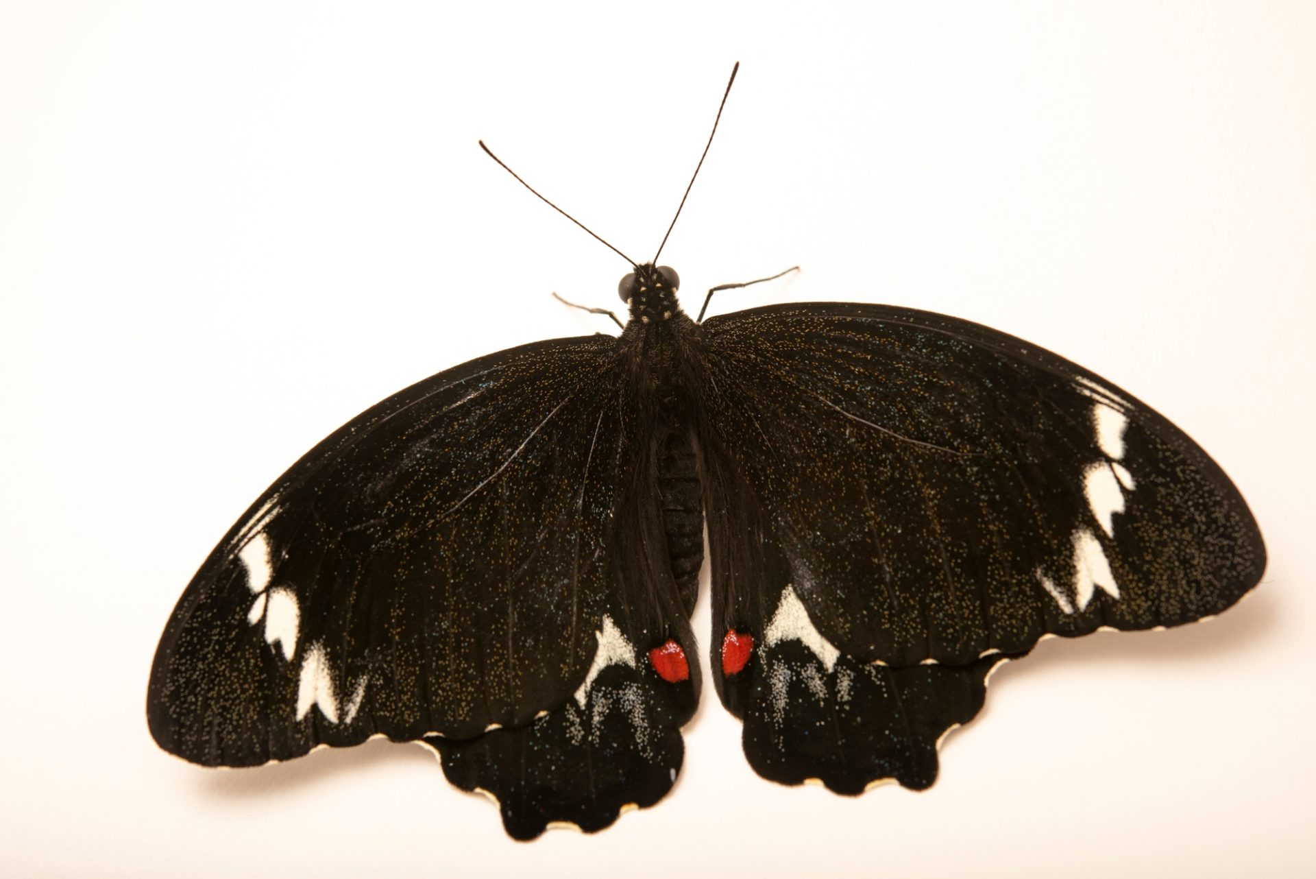 Photo: Orchard butterfly (Papilio aegeus) at Melbourne Zoo. This is a male.