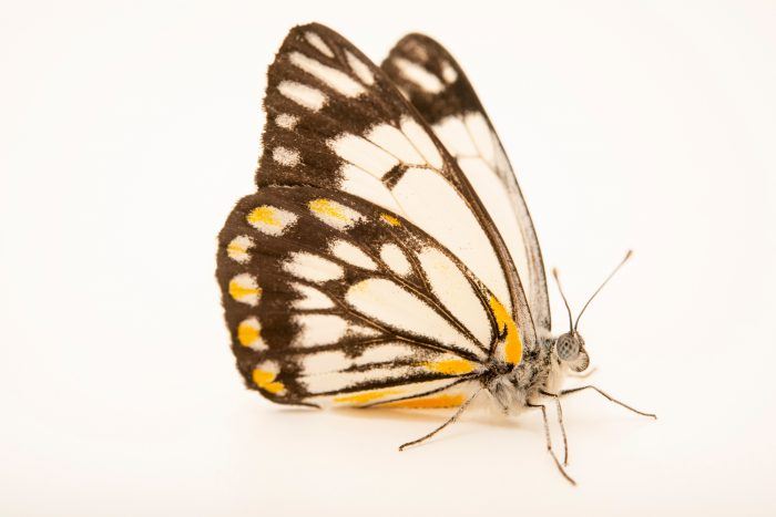 Photo: Caper white butterfly (Belenois java) at Melbourne Zoo. This is a male.