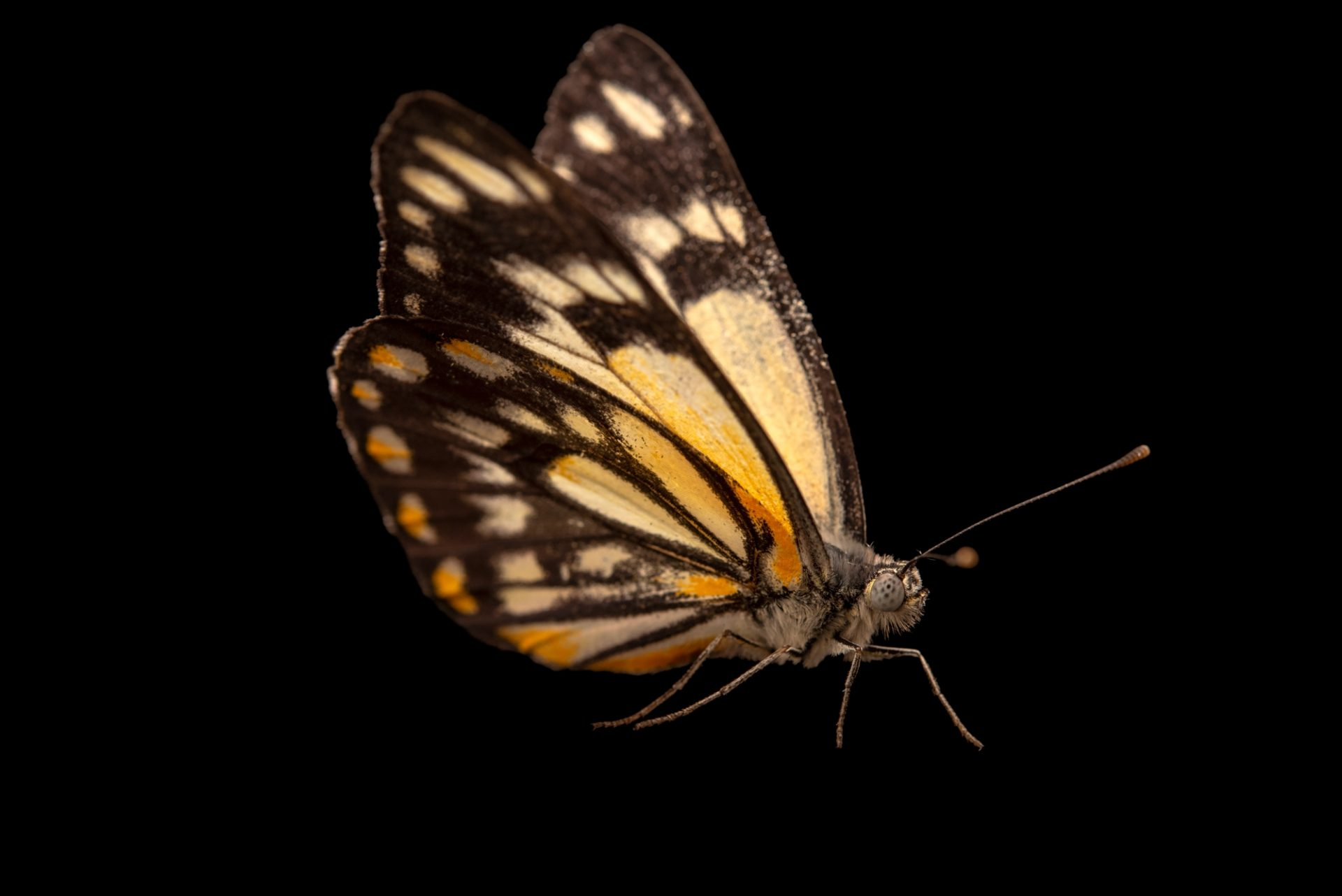 Photo: Caper white butterfly (Belenois java) at Melbourne Zoo. This is a female.