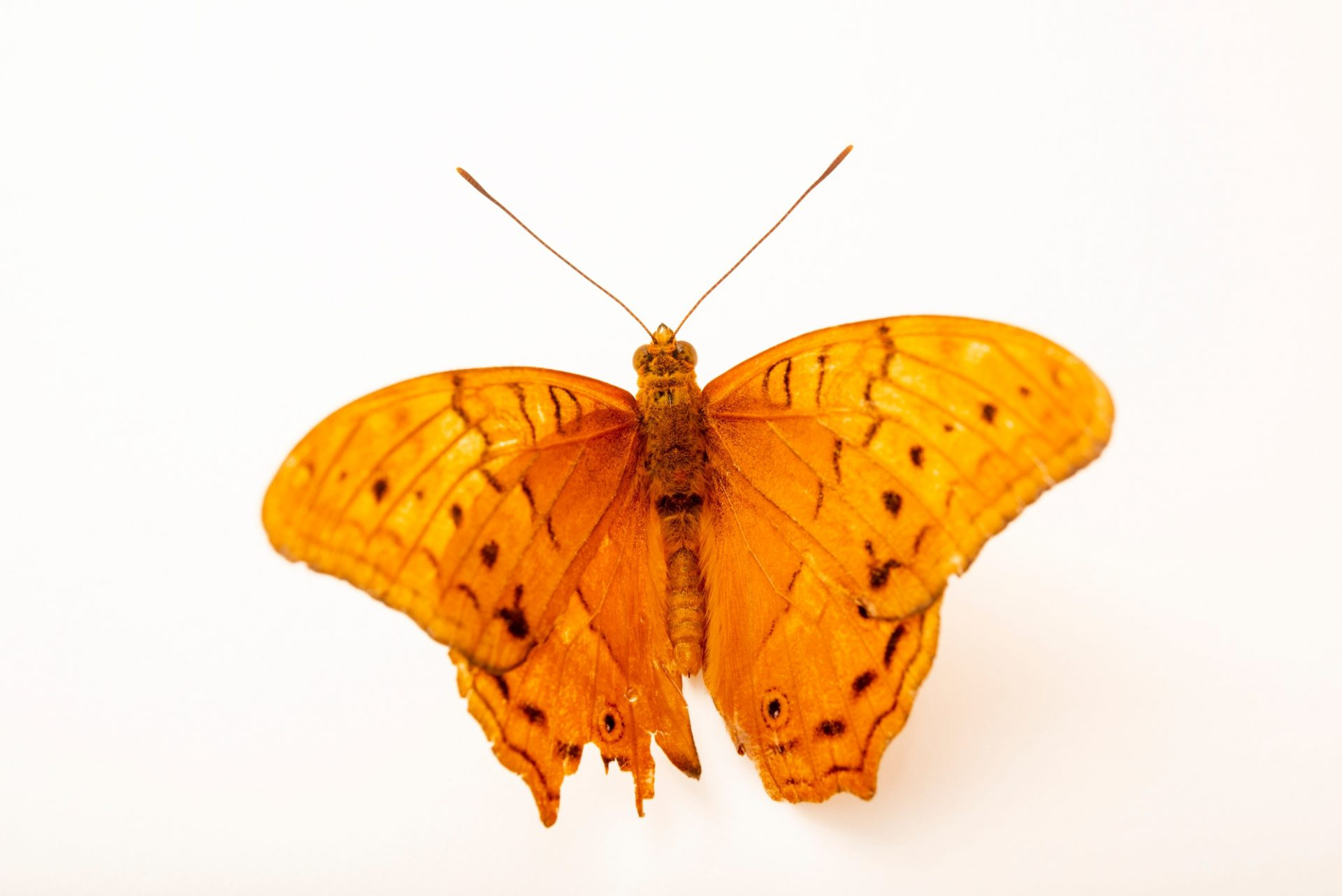 Photo: Cruiser (Vindula arsinoe) at Melbourne Zoo. This is a male.