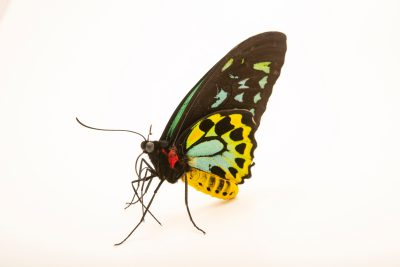 Photo: Cairns birdwing (Ornithoptera euphorion) at Melbourne Zoo. This is a male.