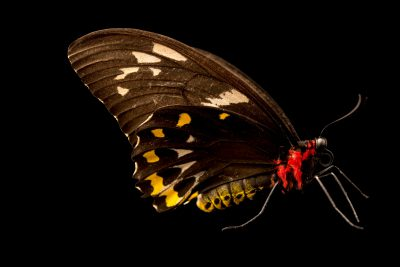 Photo: Cairns birdwing (Ornithoptera euphorion) at Melbourne Zoo. This is a female.