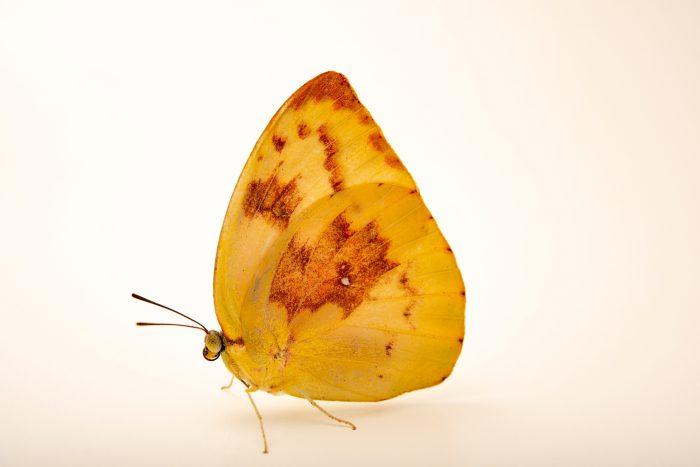 Photo: Common emigrant or lemon emigrant (Catopsilia pomona) at Melbourne Zoo.