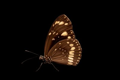 Photo: Oleander Butterfly (Euploea core) at Melbourne Zoo.