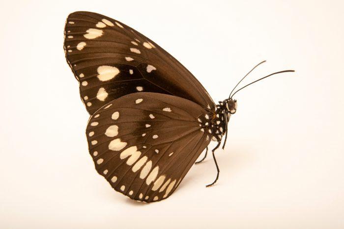 Photo: Oleander Butterfly (Euploea core) at Melbourne Zoo.