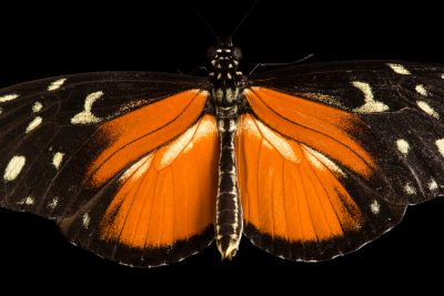Photo: A tiger longwing butterfly (Heliconius hecale) at the Omaha Zoo.