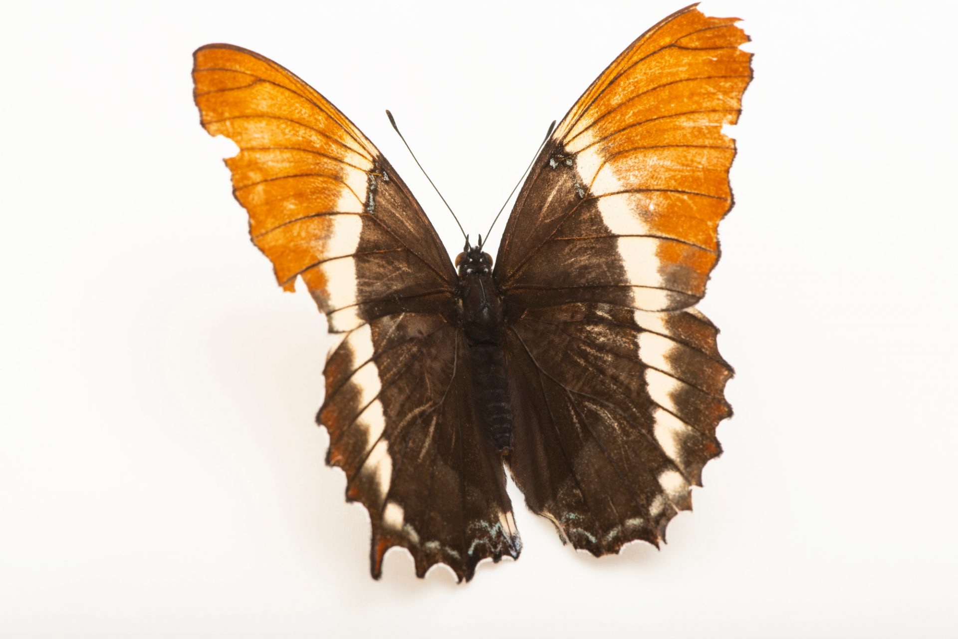 Photo: A rusty-tipped page (Siproeta epaphus) at the Omaha Zoo.