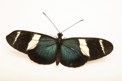 Photo: A Doris longwing (Heliconius doris) at the Omaha Zoo.