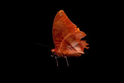 Photo: A Flame-bordered charaxes (Charaxes protoclea)