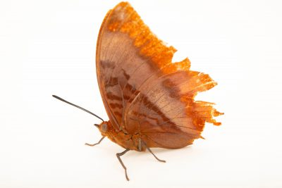Photo: A Flame-bordered charaxes (Charaxes protoclea)