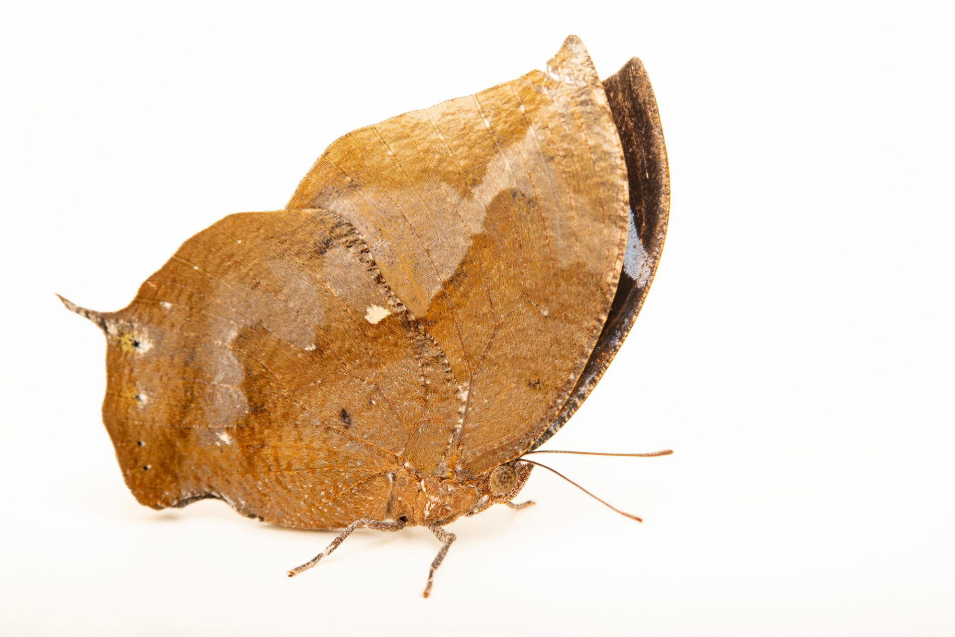 Photo: A Forrer's leafwing (Memphis forreri) at the Omaha Zoo.
