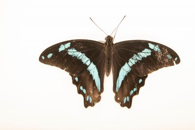 Photo: African blue-banded swallowtail (Papilio nireus) at the Omaha Zoo.
