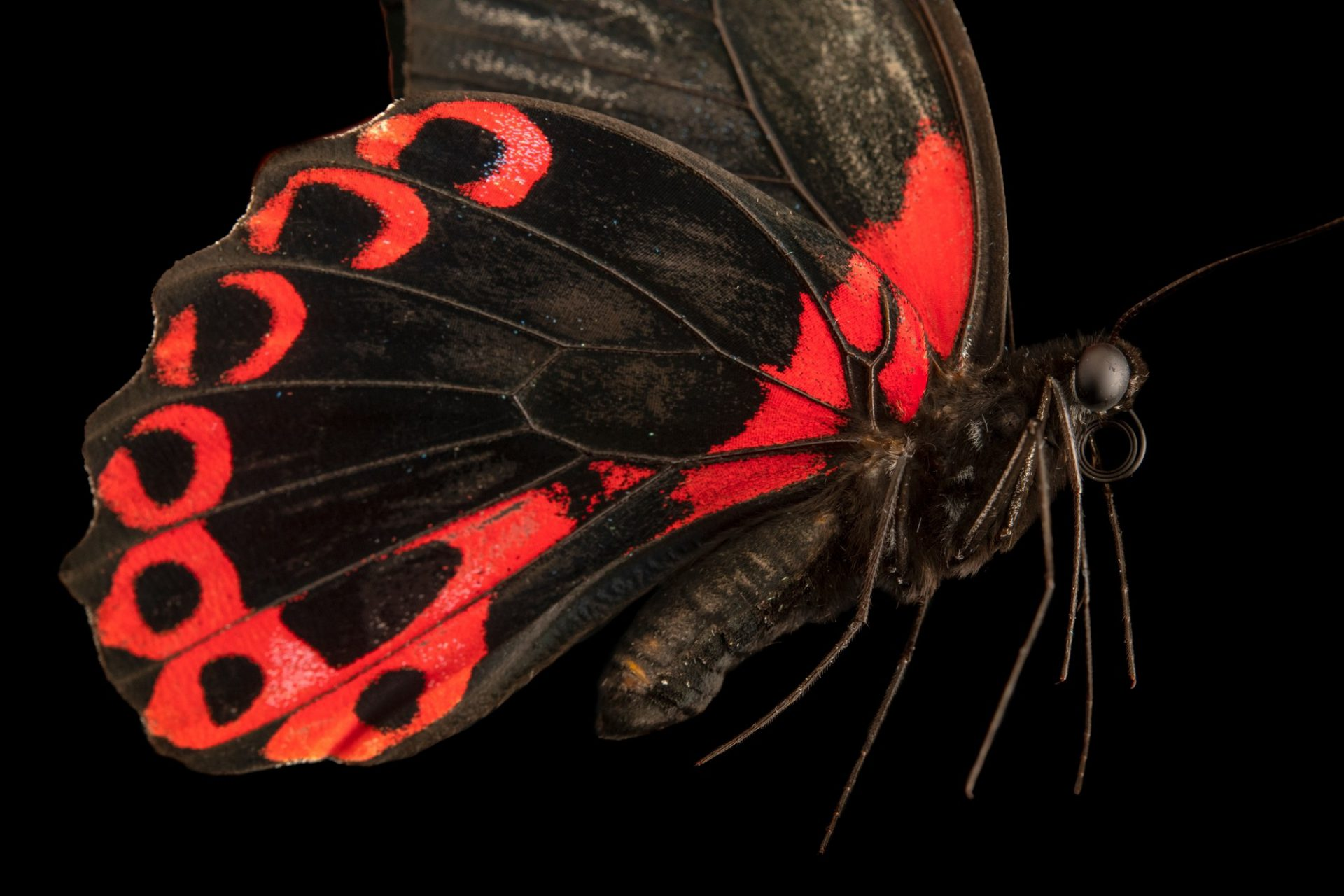 Photo: Scarlet mormon (Papilio deiphobus rumanzovia) at the Jumalon Butterfly Sanctuary on Cebu Island in the Philippines.