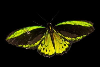 Photo: Cairns green birdwing (Ornithoptera priamus euphorion) at the Jumalon Butterfly Sanctuary on Cebu Island in the Philippines.