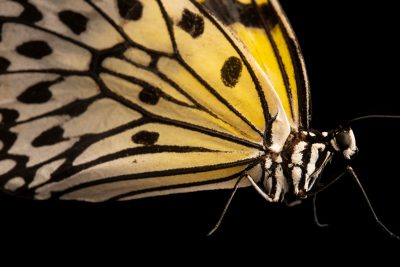 Photo: A paper kite (Idea leuconoe jumaloni) at the Jumalon Butterfly Sanctuary on Cebu Island in the Philippines.