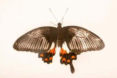A Visayan common mormon (Papilio polytes ledebouria) at the Jumalon Butterfly Sanctuary on Cebu Island in the Philippines.