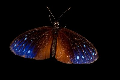 Photo: A striped blue crow (Euploea mulciber kochi) at the Jumalon Butterfly Sanctuary on Cebu Island in the Philippines.
