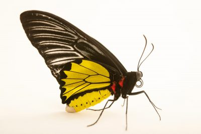 Photo: Golden birdwing (Troides rhadamantus rhadamantus) at Crocolandia in the Philippines.