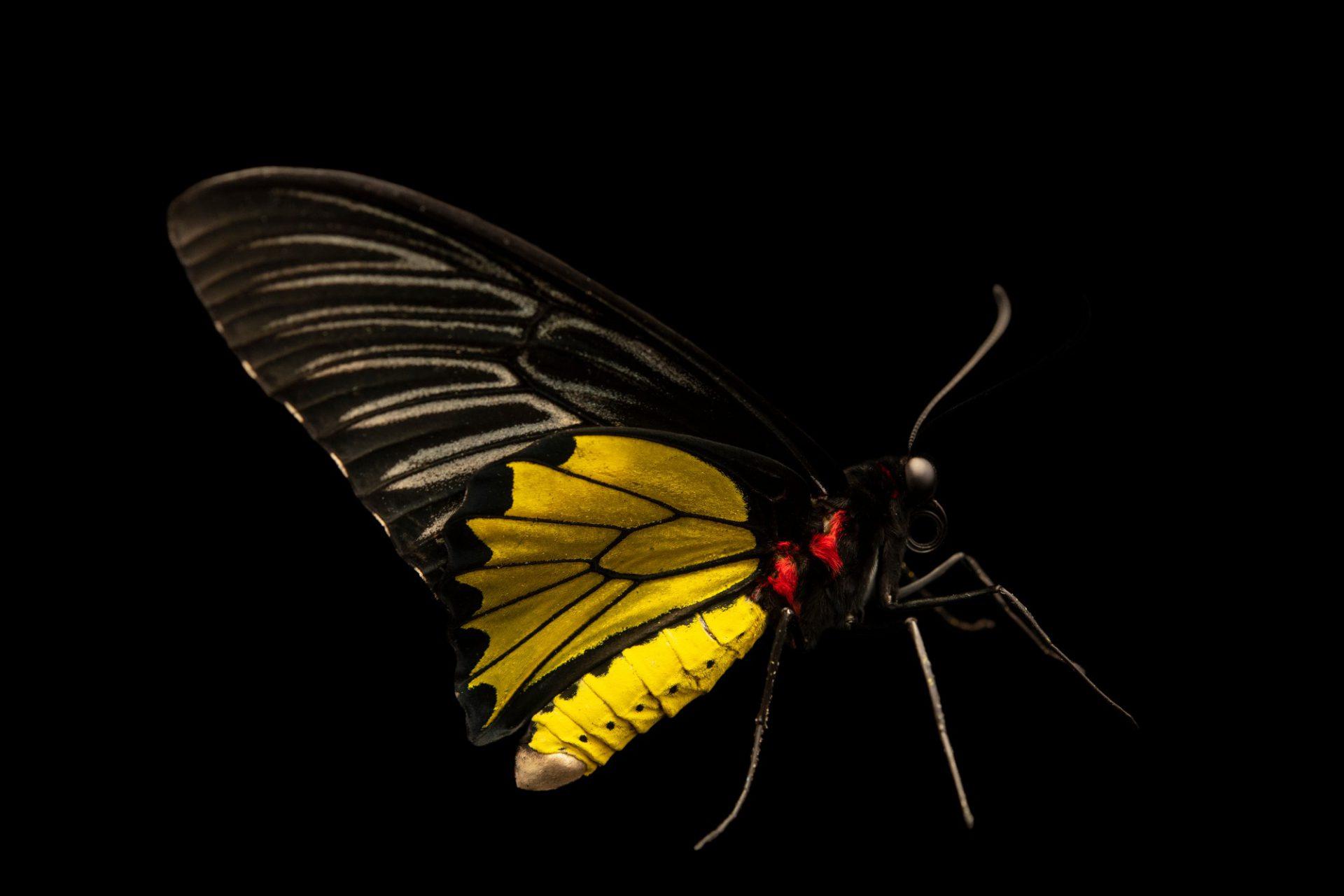 Photo: Golden birdwing, (Troides radamanthus radamanthus), at Crocolandia in the Philippines.