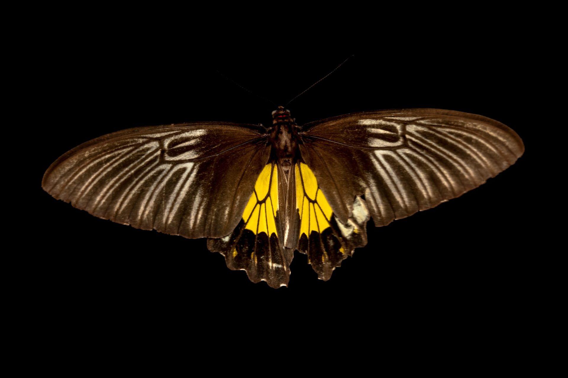 Photo: A golden birdwing (Troides rhadamantus rhadamantus) at Davao Butterfly House.