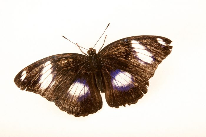 Photo: A common eggfly (Hypolimnas bolina philippensis) at Davao Butterfly House.