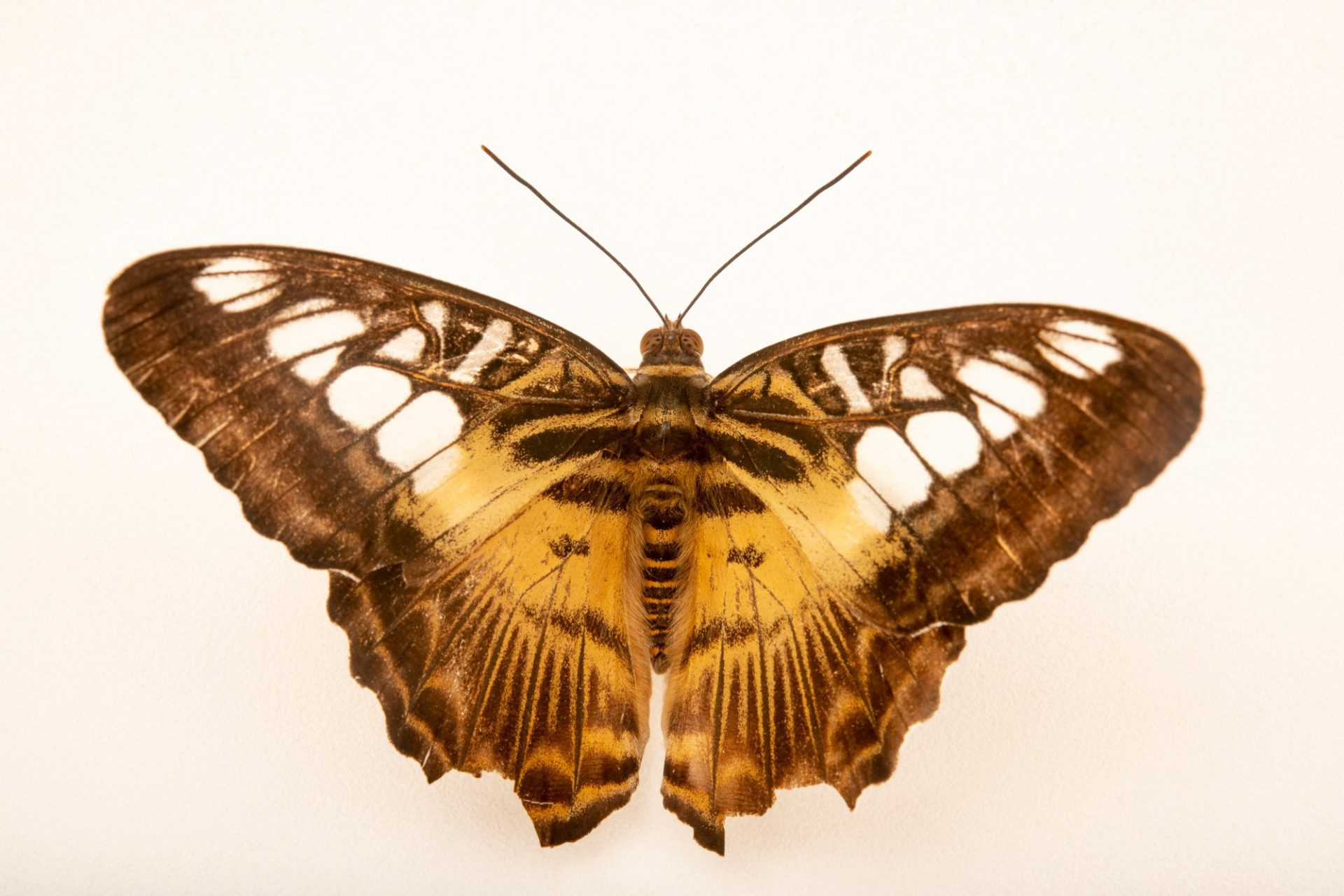 Photo: A Philippines clipper (Parthenos sylvia philippensis) at Davao Butterfly House.