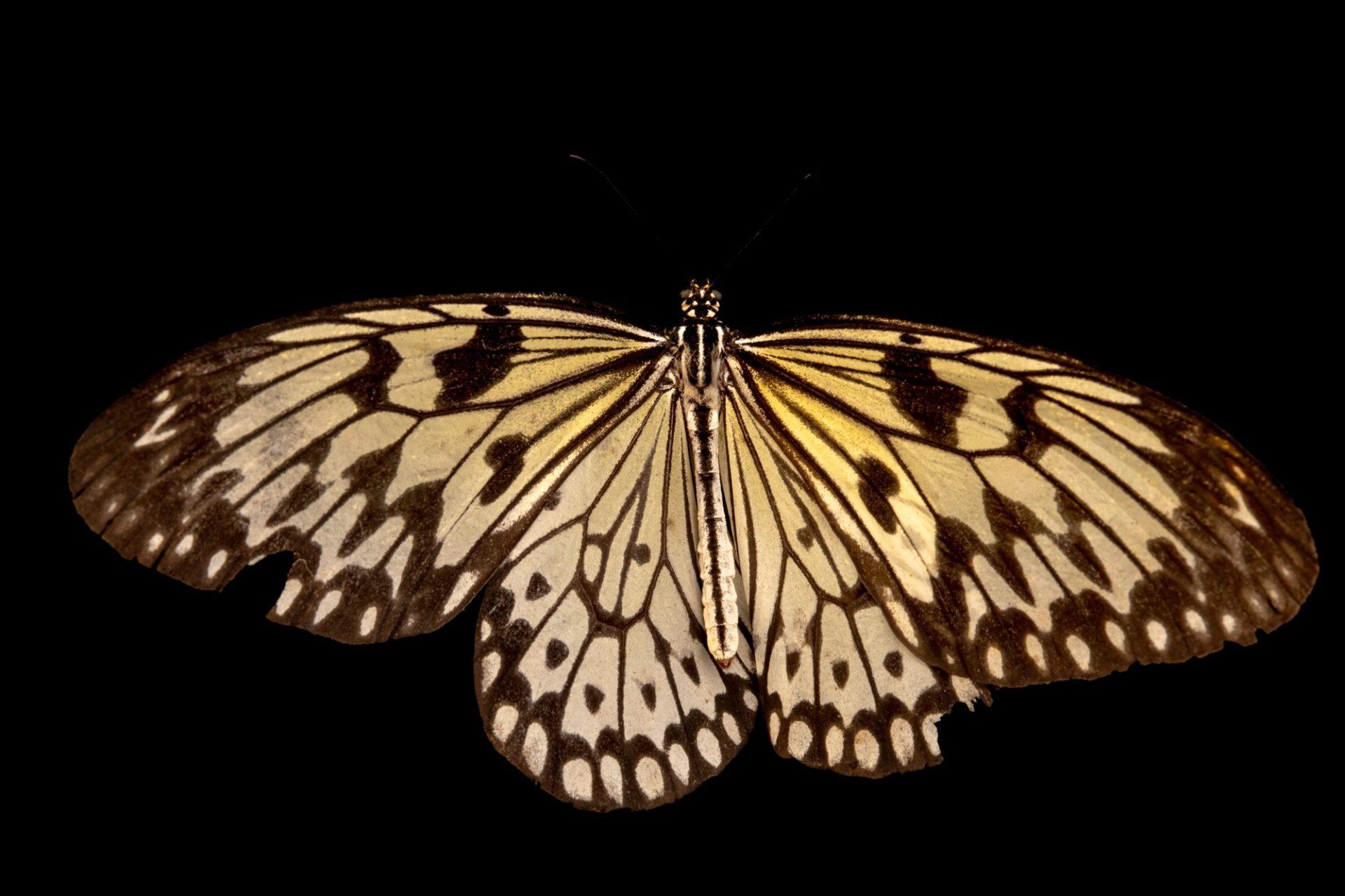 Photo: A paper kite (Idea leuconoe leuconoe) at Davao Butterfly House.