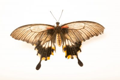 Photo: A great Mormon (Papilio memnon lowii) at Davao Butterfly House.