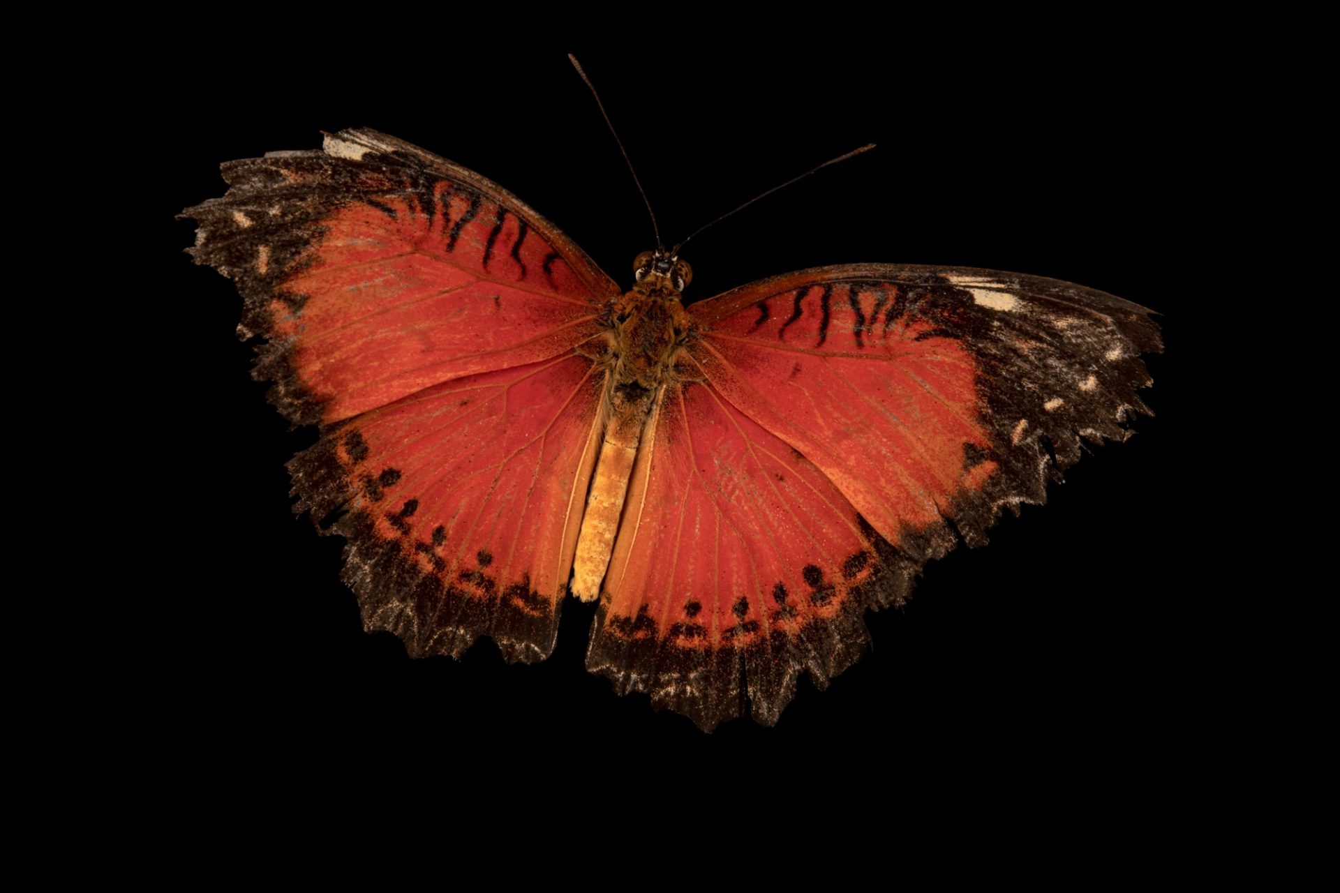 Photo: A red lacewing (Cethosia biblis liacura) at Davao Butterfly House in Davao City, Philippines.
