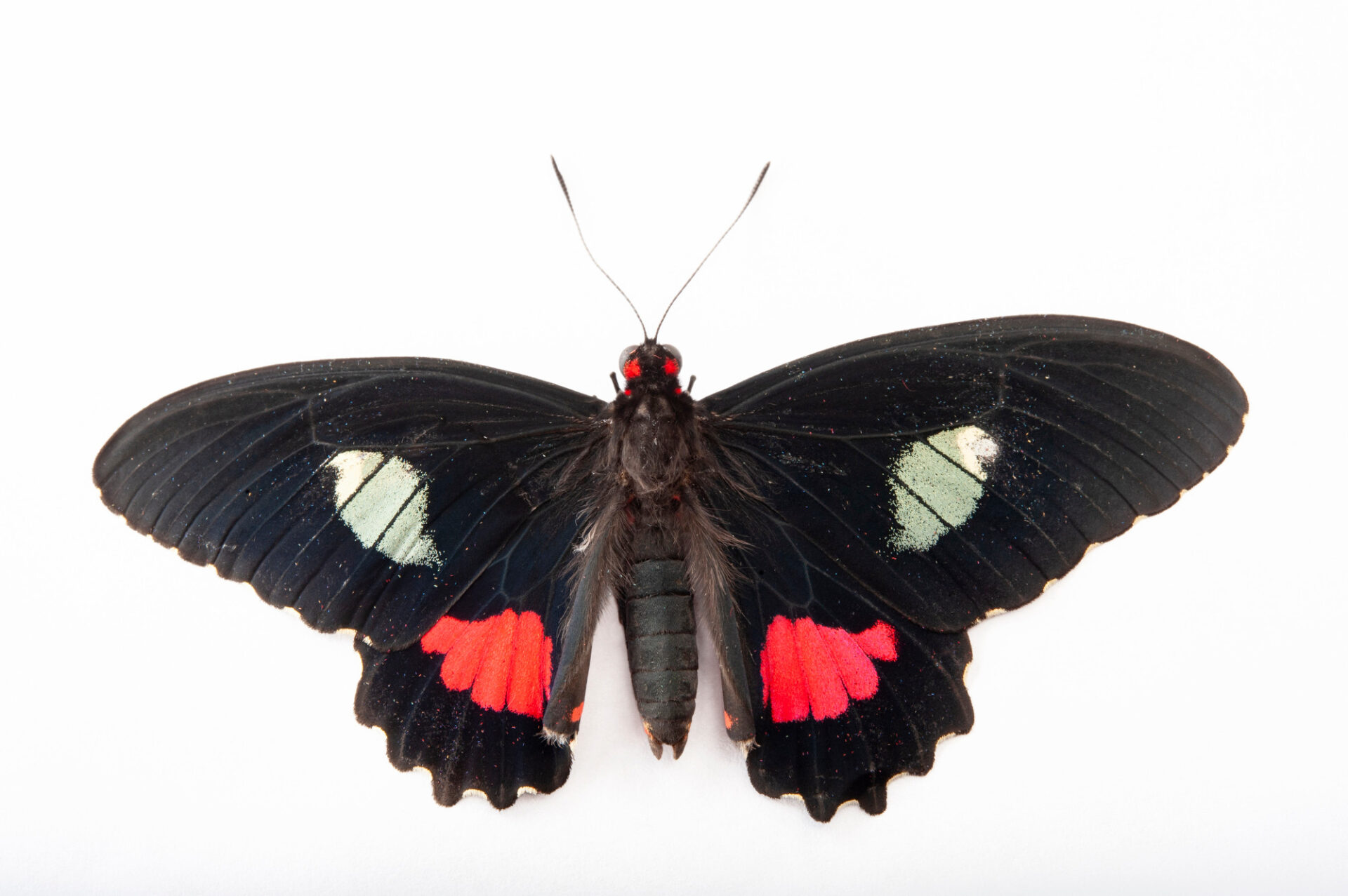 Photo: Cattleheart butterfly (Parides iphidamas) at the Insectarium in New Orleans.