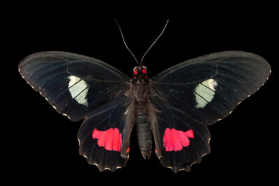 Picture of a cattleheart butterfly (Parides iphidamas) at the Insectarium in New Orleans.
