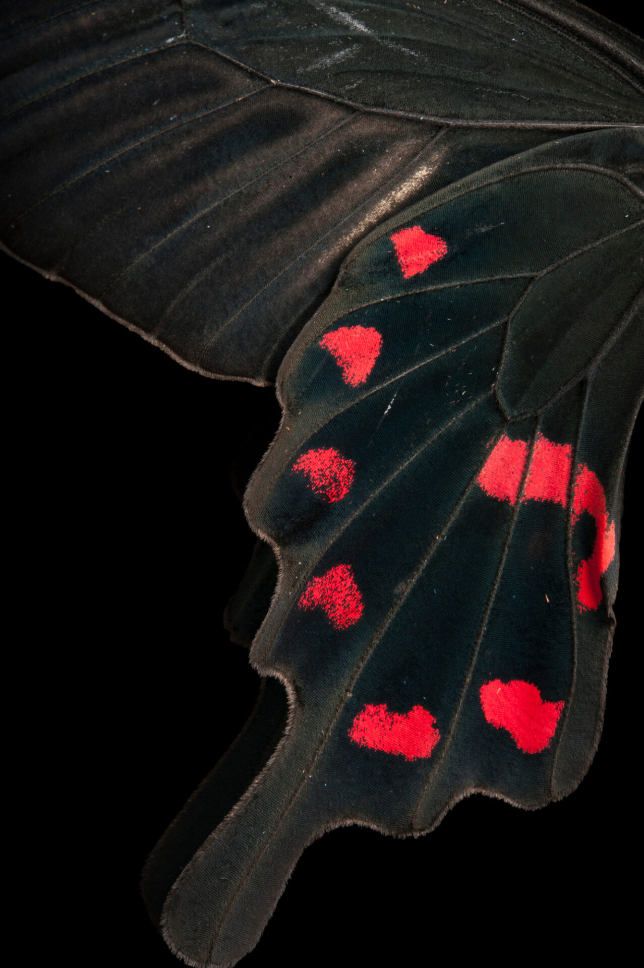 Photo: A pink rose swallowtail (Pachliopta kotzebuea) at the Insectarium in New Orleans.