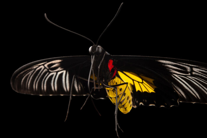 Photo: A common birdwing butterfly (Troides helena) at the Insectarium in New Orleans.