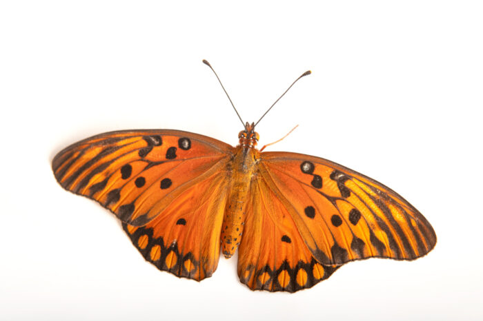 Photo: An Andean silverspot (Dione glycera) at the Museo d'Orbigny Natural History Museum in Cochabamba, Bolivia.
