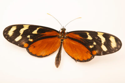 Photo: An orange-spotted tiger clearwing (Mechanitis polymnia) at the Butterfly Pavilion.