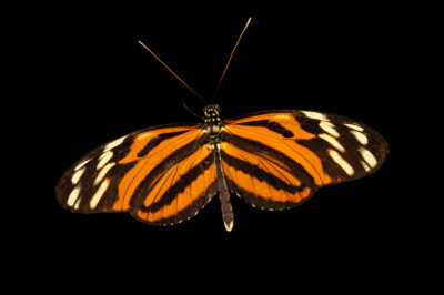 Photo: A tiger longwing (Heliconius ismenius) at the Butterfly Pavilion.