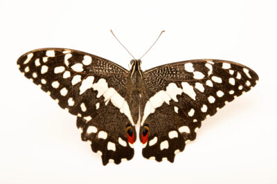 Photo: A citrus swallowtail or orchard swallowtail (Papilio demodocus) at the Butterfly Pavilion.
