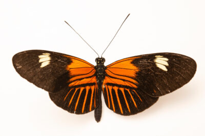 Photo: A postman butterfly (Heliconius melpomene aglaope) at the Butterfly Pavilion.