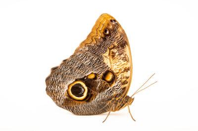 Photo: An owl butterfly (Caligo memnon telamonius) at the Butterfly Pavilion.