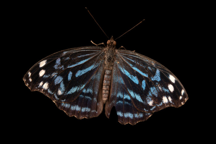 Photo: A Mexican bluewing (Myscelia ethusa pattenia) at the Butterfly Pavilion.