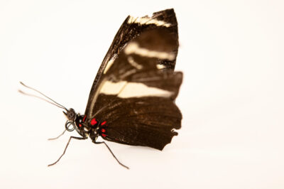 Photo: A small blue grecian (Heliconius sara sprucei) at the Butterfly Pavilion.