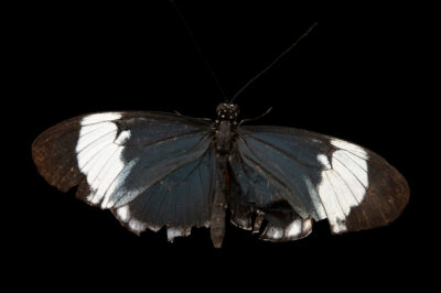 Photo: A blue and white longwing (Heliconius cydno galanthus) at the Butterfly Pavilion.