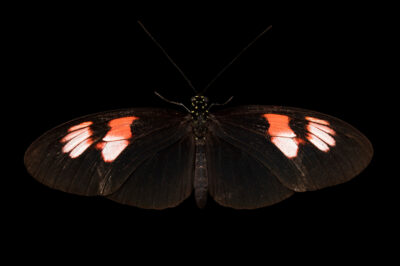 Photo: A postman butterfly (Heliconius melpomene plesseni) at the Butterfly Pavilion.